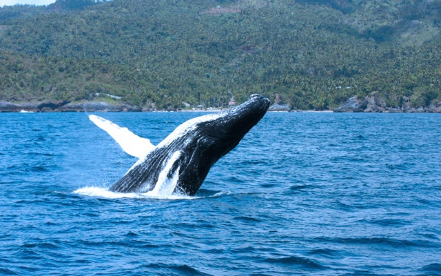Humback Whale Watching Tours in Samana Bay.